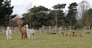 alpacas and chickens