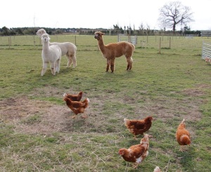 The llama pajama army guarding hens!