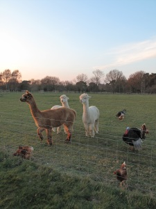 alpacas, hens and turkeys
