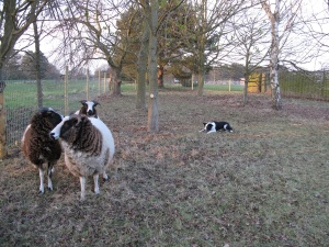 Daisy working sheep