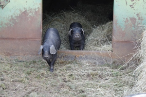 Large Black piglets