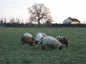 sheep in new field