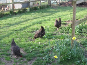 Speckled Marans