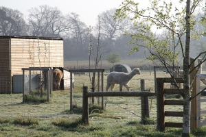 alpacas in the morning