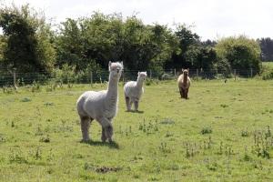 The llama pajama army