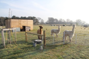 alpacas, chickens and hens all live together