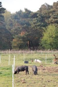 free pink pigs5