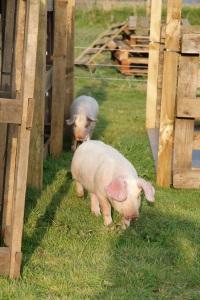 free pink pigs6