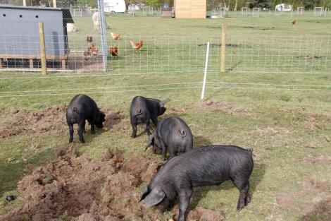 Happy pigs eating apples