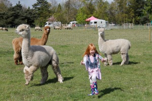 Holly and alpacas3