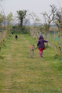 Holly walking dogs