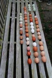 Egg haul from yesterday