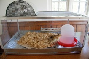 Chicks in their new home