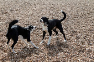 the dogs play