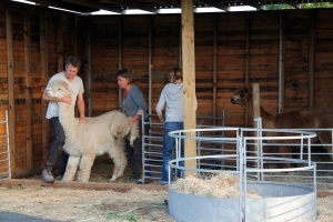 They gently take the alpacas to the shearing mat