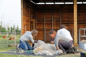 Collecting the saddle fleece