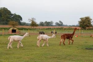 three shorn alpacas