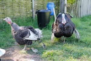 Turkey family