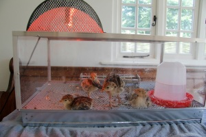 Four turkey chicks in the brooder