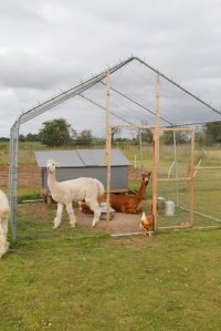 Alpacas hanging out with chickens
