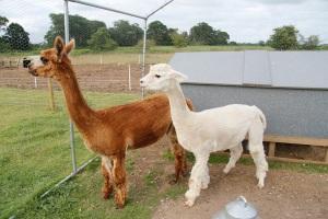alpacas in cages2