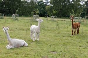 Free alpacas