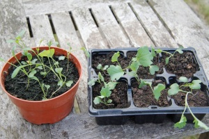 cavelo nero and psb seedlings