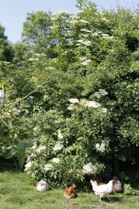One of our elderflower bushes
