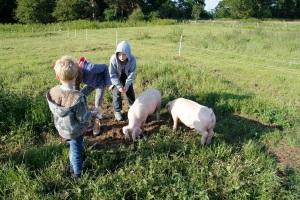 Feeding pigs