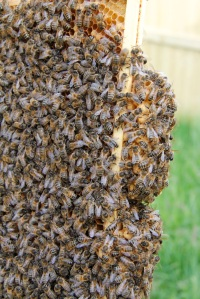 Lots and lots of bees and drone cells