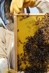 Lots of bees on new frames
