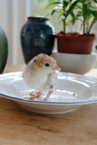 Chick number four