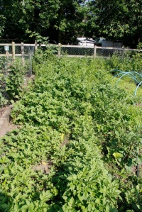 Overgrown strawberry bed