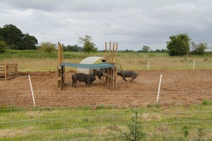 Pig shelter and racing pigs