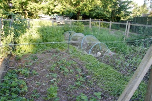 semi-cleared strawberry bed with newly planted cauliflowers under the hoops, onions behind