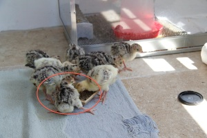 baby chick and friends