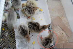 Baby chick with siblings