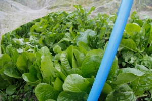 Lettuce and rocket