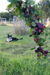 plums and dog