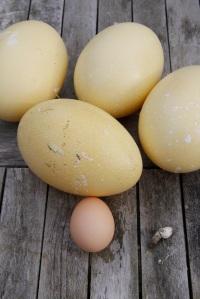 Rhea eggs with hen egg