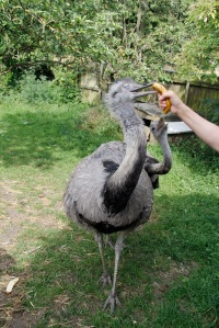 I am not sure I will ever be brave enough to hand feed a rhea - they have big beaks!