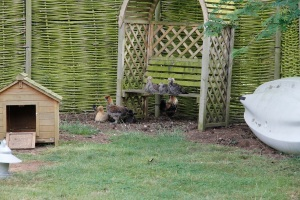 turkeys and chicks