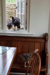 Turkeys in dining room