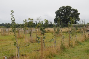 Apple trees that I will later train along wire as cordons - they are for eating and cider!