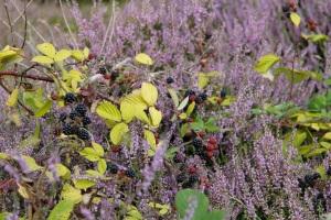 Blackberries and heather