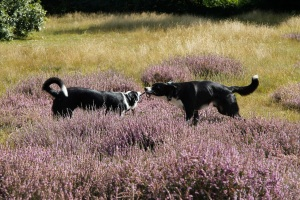 dogs in heather2