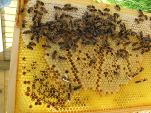 Frame with honey, pollen and uncapped brood