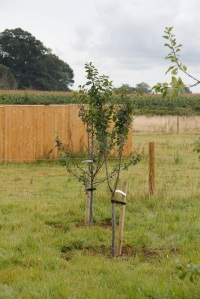 Two of six greengage trees