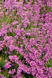 The heather is out