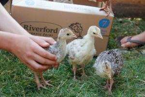 turkey chicks2